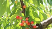 orchard : Ripe cherries on cherry tree