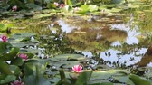 лилии : Water lily with tree reflection on the pond Стоковые видеозаписи