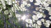 отраженный : Leaves of water lily and reflection of sunlight Стоковые видеозаписи