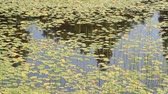 reflected : aquatic plants floating on water