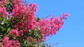 çalı : crape myrtle and blue sky Stok Video