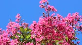 crepe : crape myrtle and blue sky Stock Footage