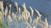 outono : Japanese pampas grasses swaying by the sea