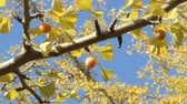 nut : Ginkgo tree with Ginkgo nuts