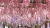 wisteria : The wisteria flowers
