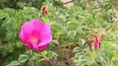 pink flower : Flower of Beach rose