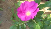 yamagata prefecture : Flower of Beach rose