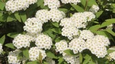 encantador : Flowers of Reeves spiraea
