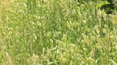 tál : Greater quaking grass swaying in the wind