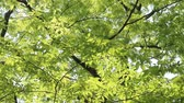 tohoku : Tree of Japanese  zelkova