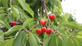 yamagata prefecture : Cherries on tree