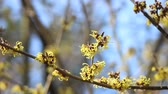 branches : Witch Hazel flowers