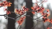 tohoku : Witch Hazel flowers
