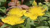 çalı : Hypericum monogynum flowers Stok Video