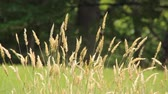titreme : Grass swaying in the wind