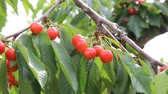 yamagata prefecture : Cherries grown on a branch
