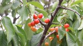 harvest : Cherries grow on a branch