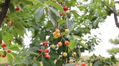 yamagata prefecture : Cherries grow on a branch