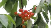 czerwony : Cherries grow on a branch