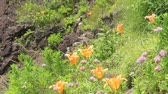 rod : Rock Lily, Lilium maculatum in Japan