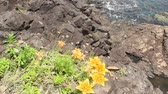 yamagata prefecture : Rock Lily, Lilium maculatum in Japan