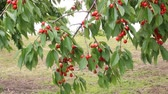 vermelho : Cherries grow on a branch