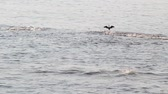 aves marinhas : Sea cormorant flying