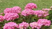 растения : Pink Hydrangeas in Japan