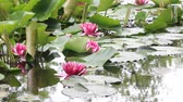 tohoku : Water lily flower