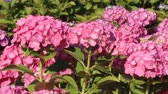 titreme : Pink Hydrangea flower in Japan Stok Video
