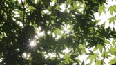 눈부신 : Sunlight filtering through the maple leaves 무비클립