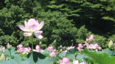 titreme : Lotus Flower full bloom in pond, Japan Stok Video