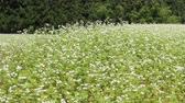 titreme : Buckwheat flower on the field in Japan