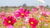 titreme : Cosmos flower in the field Stok Video
