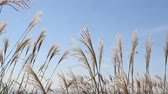 titreme : Blue Sky and Japanese pampas grass