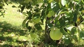 zevk : Ripe apples on the tree