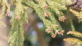 sedir : Japanese cedar flowers that fly pollen in spring Stok Video