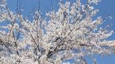 soluk : Blue sky and cherry blossoms in full bloom