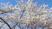 avril : Blue sky and cherry blossoms in full bloom