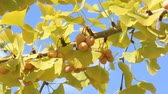 orzechy : Gingko nuts and gingko leaves on the tree