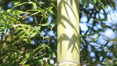 振る : Bamboo leaves blowing in the breeze 動画素材