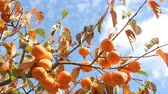 titreme : Persimmon tree with Ripe persimmon fruit in autumn Stok Video