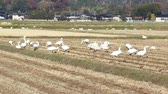 pirinç : Swans in the Paddy field in autumn , Japan Stok Video