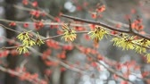 elâ : Japanese Witch Hazel flowers swaying in the breeze Stok Video
