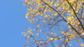 振る : The autumn leaves of Liriodendron Tulipifera (Tulip Tree) 動画素材