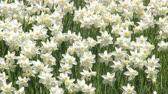 A lot of  Trumpet daffodils 動画素材