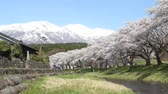 teljes virágzás : Cherry trees of Nakayama River Park and Mt.Chokai, Yamagata prefecture Japan