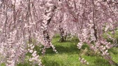 teljes virágzás : The weeping cherry tree swaying in the wind