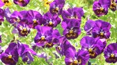 rod : Pansy flowers swaying in the wind