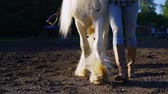 Legs of a woman leading a white horse on the ground, slow motion